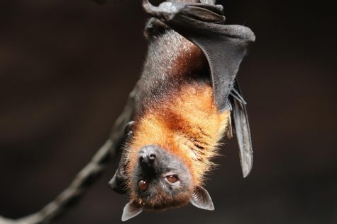 Bat hangs upside down.